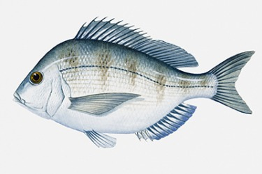 An illustration of an Atlantic scup.