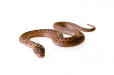 A common adder snake