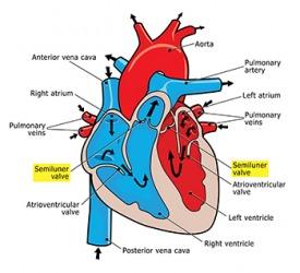 Semilunar valve dictionary definition | semilunar valve ...