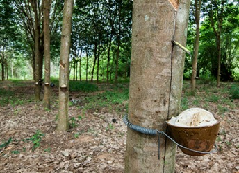 Seringa in Thailand with containers attached to collect the milky latex from the trunk of the tree.