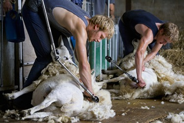The farmers shear the sheep with electric shearing clippers.