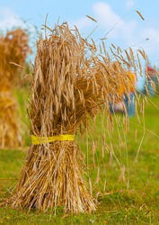 Wheat sheaves are bundled so they can be set upright to dry out before processing.