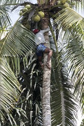 The man is shinning the tree to harvest the coconuts.