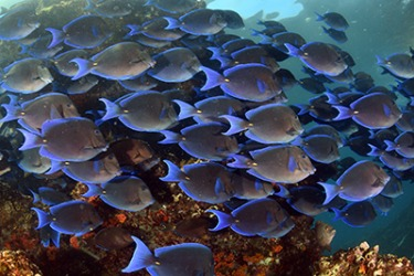 The shoal of Blue Tang fish swim along the coral reef in the Caribbean Sea.