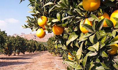 There will not be a shortage of oranges as long as a hard freeze does not occur this winter.