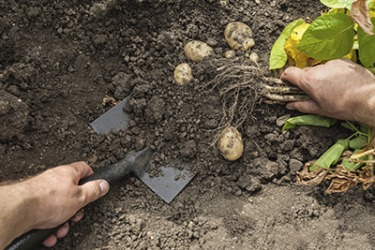 A garden shovel is used to dig up potatoes in the soil.