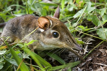 The four-toed elephant shrew is found in Central and East Africa.