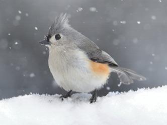 When the tufted titmouse reappears it will signify the return of spring.