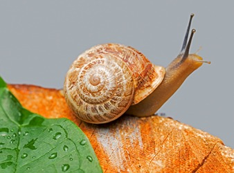 The ridges of the snail shell spiral to the left which is an example of sinistrorsa.