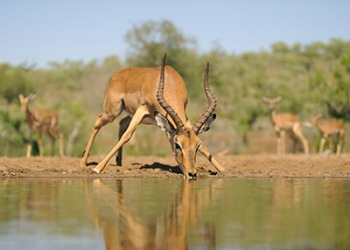 The Impala ram, wary of predators, was skittish while drinking at the waterhole.