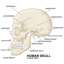 The human skull has 8 cranial bones and 14 facial bones.