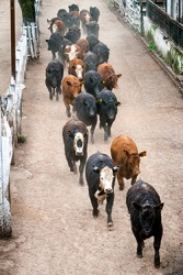 Cattle getting herded before going to slaughter.