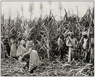 Antique photograph of slaves cutting sugar cane in Jamaica.
