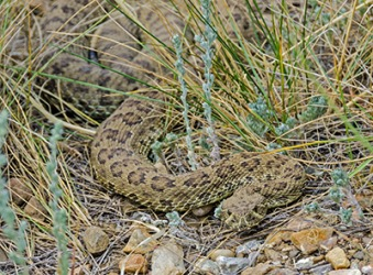 The rattlesnake is barely noticeable as it slithers through the brush.