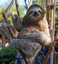 Sloths have long claws that are used for climbing trees and defending against predators.