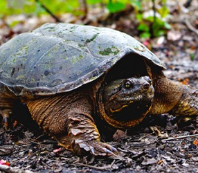 Snapping turtles earn their name because they can snap their mouths shut with great quickness and force.