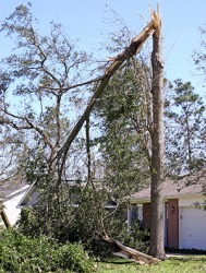 The tree snapped when the hurricane came through.