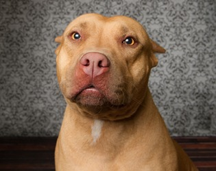 The snout of a red nose pitbull terrier is a pinkish color.