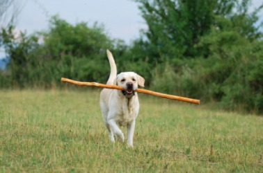 A dog bringing a stick.