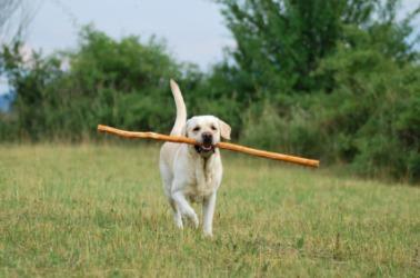 A dog bringing a stick.