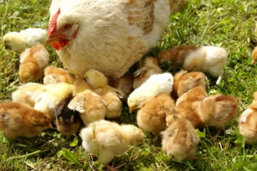 A mother hen and her brood of baby chicks.