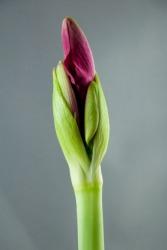An amaryllis bud.