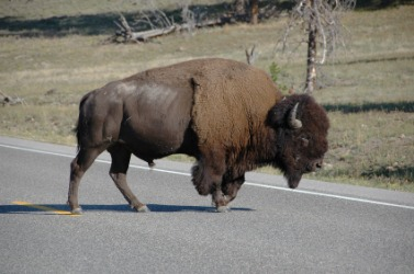 American buffalo crossing a road.