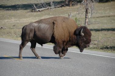 American buffalo crossing a road.