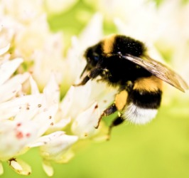 A bumble bee collecting nectar.