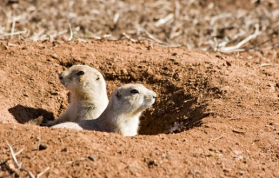 Two prairie dogs looking out from their burrows.