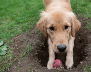 This dog is about to bury his ball.