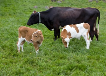 A mother cow with two calves.