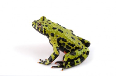 An example of an amphibian is this toad.