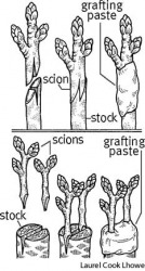 graft  top:  whip grafting;