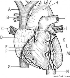 heart anatomy of a human heart: A. superior vena cava, B. right pulmonary artery, C. right pulmonary veins, D. right atrium, E. right coronary artery, F. right ventricle, G. inferior vena cava, H. aorta, I. left pulmonary artery, J. left pulmonary veins,
