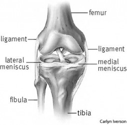 joint anterior view of a knee joint showing arrangement of ligaments and menisci
