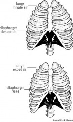 respiration During inhalation (top),  the diaphragm descends and air fills the lungs. During exhalation (bottom),  the diaphragm rises and the lungs expel air.