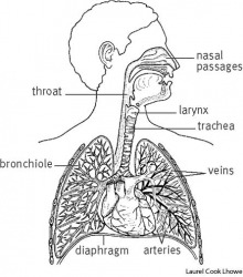 Respiratory system dictionary definition | respiratory system defined