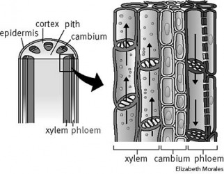 Xylem dictionary definition | xylem defined