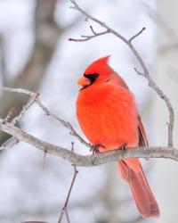 A male cardinal bird.