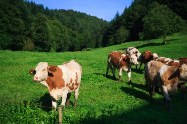 Cattle grazing in a green pasture.
