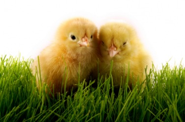 Two baby chickens called chicks.