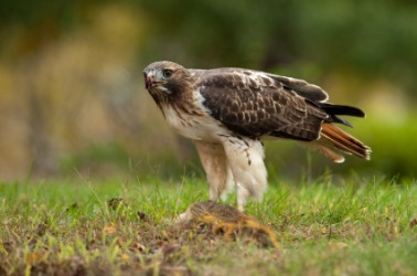 The red-tail is also known as a chicken hawk.
