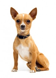 A brown and white Chihuahua.