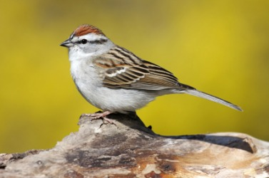 A young chipping sparrow.