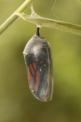 A Monarch chrysalis right before the butterfly emerges.