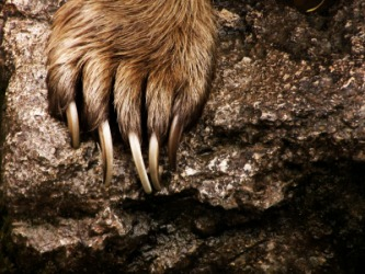 A close up of the claws on a bears paw.