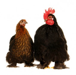 A cock, on the right, with a hen.