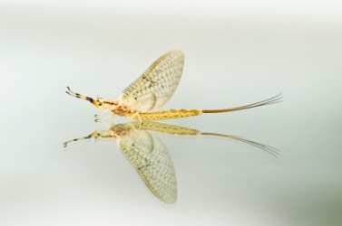 The adult mayfly or dayfly.