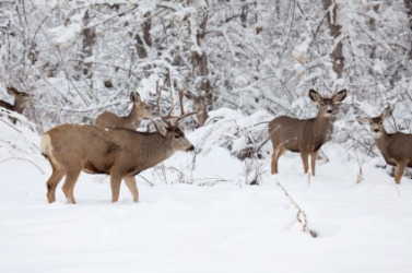 A herd of deer in the snow.